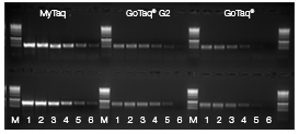 Amplification of a 525bp fragment of EGFR (upper row) and a 750bp fragment of Myc (lower row) from a serial dilution of human genomic DNA under identical cycling conditions (following manufacturers recommended protocol).