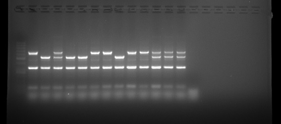ISOLATE II Genomic DNA Result